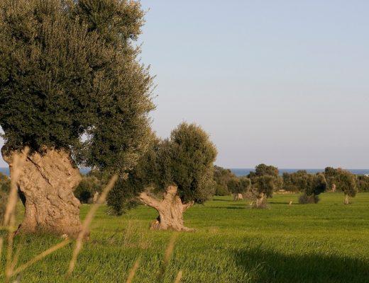Alla Xylella la Puglia risponde con 5 Dop e una nuova Igp regionale